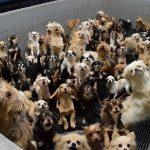 犬猫工場パピーミル繁殖業者(ブリーダー)坂井市動物愛護法違反などの疑い福井県警が刑事告発