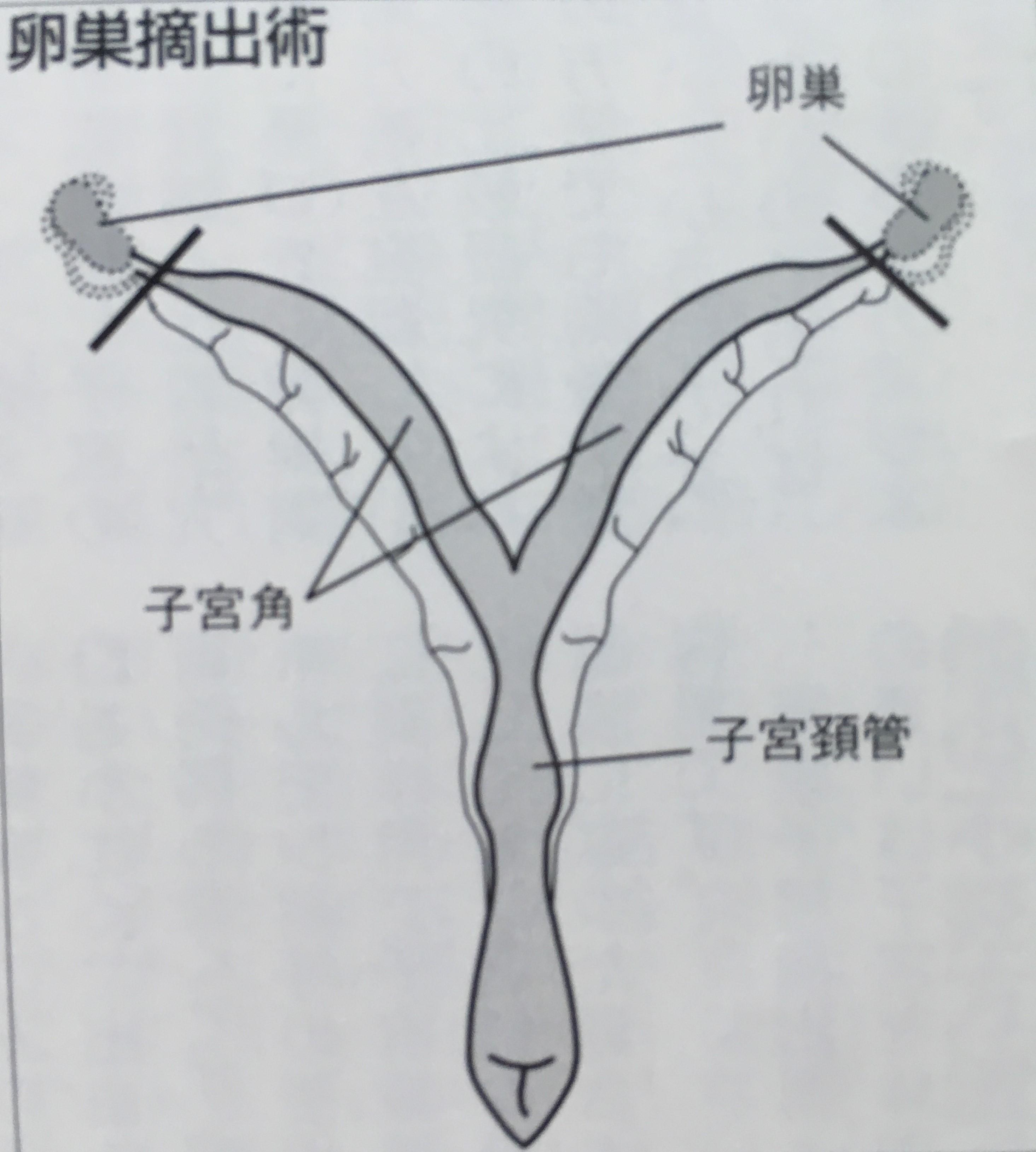 I犬の卵巣摘出手術
