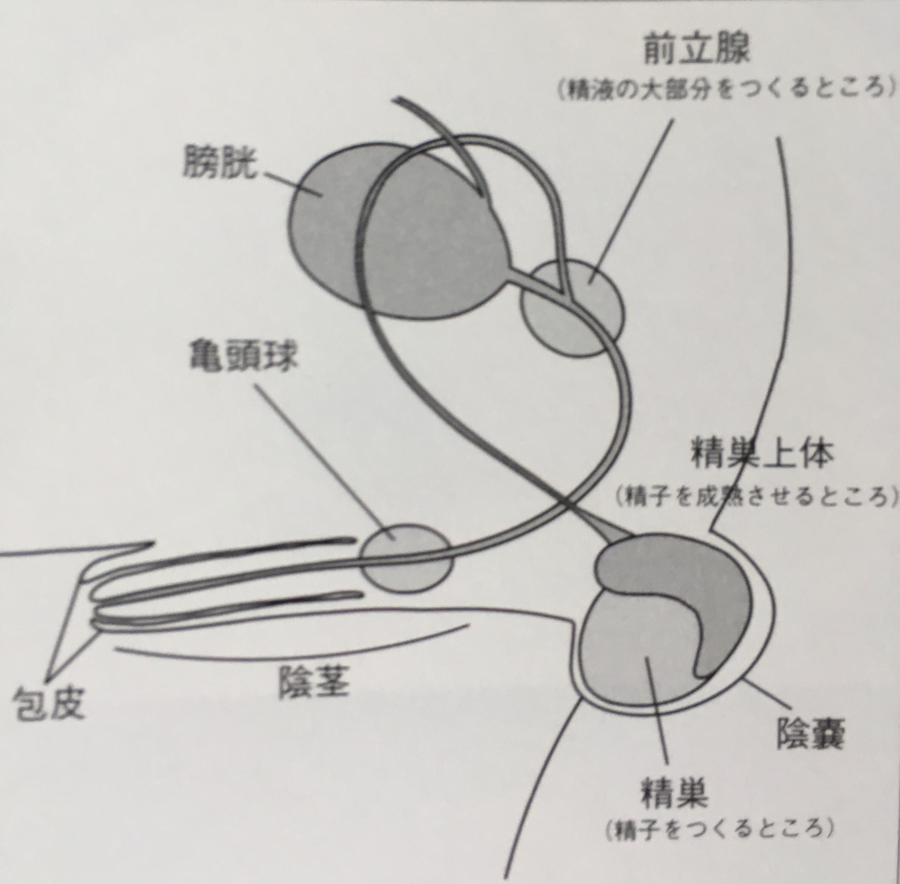 犬の睾丸(精巣)の摘出施術
